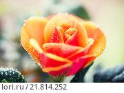 Купить «close up of rose flower», фото № 21814252, снято 3 марта 2015 г. (c) Syda Productions / Фотобанк Лори
