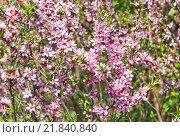 Миндаль степной (Prunus tenella) Стоковое фото, фотограф Алёшина Оксана / Фотобанк Лори