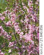 Ветка цветущего миндаля степного (Prunus tenella) Стоковое фото, фотограф Алёшина Оксана / Фотобанк Лори