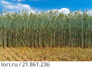 Купить «Green rye with very long stalk», фото № 21861236, снято 23 марта 2019 г. (c) easy Fotostock / Фотобанк Лори