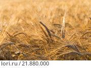 Купить «ears of yellow wheat field», фото № 21880000, снято 19 октября 2018 г. (c) PantherMedia / Фотобанк Лори