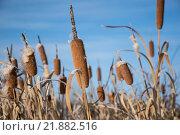 Камыш. Стоковое фото, фотограф Максим Колесов / Фотобанк Лори