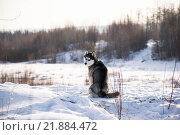 Сибирский хаски. Стоковое фото, фотограф Максим Колесов / Фотобанк Лори