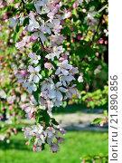 Весенний фон. Цветущая яблоня. Стоковое фото, фотограф Сергей Трофименко / Фотобанк Лори