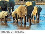 Купить «Африканские слоны в их естественной среде обитания. Кения», фото № 21893652, снято 25 февраля 2014 г. (c) Эдуард Кислинский / Фотобанк Лори