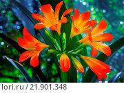 Купить «Blooming Amaryllis against the window to the garde», фото № 21901348, снято 27 мая 2019 г. (c) easy Fotostock / Фотобанк Лори