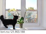Купить «Black cat walking near the orchid on the white win», фото № 21903188, снято 16 декабря 2019 г. (c) easy Fotostock / Фотобанк Лори
