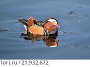 Экзотическая птица мандаринка. Стоковое фото, фотограф Юлия Бубличенко / Фотобанк Лори