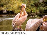 Купить «rare Spot-billed pelican, Pelecanus philippensisin camera», фото № 21946372, снято 26 мая 2019 г. (c) easy Fotostock / Фотобанк Лори