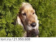 Купить «dogs young portrait looking red», фото № 21950608, снято 20 мая 2019 г. (c) PantherMedia / Фотобанк Лори