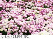 Купить «Garden flowers background», фото № 21961192, снято 15 сентября 2019 г. (c) PantherMedia / Фотобанк Лори