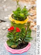 Купить «Kalanchoe flowering plant in pot», фото № 21962160, снято 22 октября 2018 г. (c) PantherMedia / Фотобанк Лори