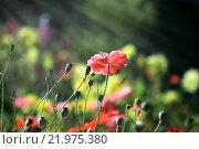 Купить «Розовые маки с бутонами в лучах солнца», фото № 21975380, снято 8 сентября 2011 г. (c) Татьяна Белова / Фотобанк Лори