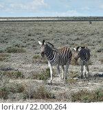 Зебра с жеребенком, национальный парк Etosha, Намибия (2016 год). Стоковое фото, фотограф Знаменский Олег / Фотобанк Лори
