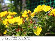 Жёлтые цветы на даче. Стоковое фото, фотограф Аня Шумкова / Фотобанк Лори