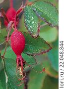 Купить «Nadel-Rose ertraegt Temperaturen von -40 Grad Celsius - (Foto der Hagebutten) / Prickly Wild Rose is the most abundant rose species of northern Canada...», фото № 22048844, снято 13 ноября 2019 г. (c) age Fotostock / Фотобанк Лори