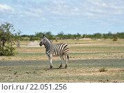 Зебра в Этоша, Намибия (2016 год). Стоковое фото, фотограф Знаменский Олег / Фотобанк Лори