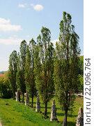 Купить «Populus nigra Italica, Säulenpappel, Fastigiate poplar», фото № 22096764, снято 23 января 2019 г. (c) age Fotostock / Фотобанк Лори