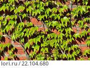 Купить «Дикий виноград на старинной стене», фото № 22104680, снято 3 мая 2014 г. (c) Сергей Трофименко / Фотобанк Лори