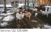 Купить «Домашние козы гуляют в загоне весной», видеоролик № 22125684, снято 10 марта 2016 г. (c) FotograFF / Фотобанк Лори