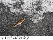 Купить «winter fishing. perch fish on the ice», фото № 22159240, снято 21 марта 2019 г. (c) PantherMedia / Фотобанк Лори