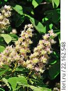 Купить «Цветок каштана (лат. Castanea)», фото № 22162548, снято 3 мая 2014 г. (c) Сергей Трофименко / Фотобанк Лори