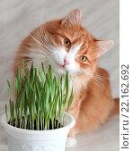Купить «Рыжий кот ест зеленую травку», фото № 22162692, снято 22 февраля 2016 г. (c) EgleKa / Фотобанк Лори