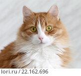 Купить «Портрет рыжего кота», фото № 22162696, снято 22 февраля 2016 г. (c) EgleKa / Фотобанк Лори