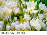 Купить «Первоцвет. Крокусы», фото № 22169756, снято 17 октября 2018 г. (c) Татьяна Белова / Фотобанк Лори