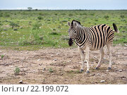 Зебра, Намибия (2016 год). Стоковое фото, фотограф Знаменский Олег / Фотобанк Лори