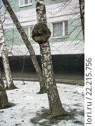 Кап на городской березе. Стоковое фото, фотограф Сергей Махан / Фотобанк Лори