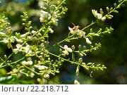Купить «Sophora japonica, Japanischer Schnurbaum, Pagoda tree, mit Biene», фото № 22218712, снято 20 апреля 2018 г. (c) age Fotostock / Фотобанк Лори