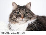 Купить «Портрет пушистого кота», фото № 22225196, снято 12 ноября 2015 г. (c) Olesya Tseytlin / Фотобанк Лори