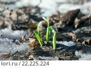 Купить «Подснежники», фото № 22225224, снято 11 марта 2016 г. (c) Татьяна Белова / Фотобанк Лори
