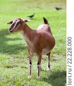 Купить «Комолая коза», фото № 22228000, снято 25 апреля 2012 г. (c) Куликов Константин / Фотобанк Лори