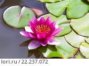 Купить «Pink Lily or Nymphaea in a pond», фото № 22237072, снято 20 июня 2015 г. (c) Наталья Волкова / Фотобанк Лори