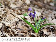 Купить «Весенний лесной синий цветок Пролеска сибирская, или Сцилла (Scilla sibirica)», фото № 22238180, снято 8 марта 2016 г. (c) Наталья Гармашева / Фотобанк Лори