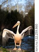 Купить «rare Spot-billed pelican, Pelecanus philippensisin», фото № 22259860, снято 26 мая 2019 г. (c) PantherMedia / Фотобанк Лори