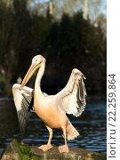 Купить «rare Spot-billed pelican, Pelecanus philippensisin», фото № 22259864, снято 26 мая 2019 г. (c) PantherMedia / Фотобанк Лори