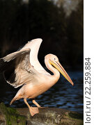 Купить «rare Spot-billed pelican, Pelecanus philippensisin», фото № 22259884, снято 21 апреля 2019 г. (c) PantherMedia / Фотобанк Лори