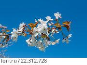 Купить «Цветущая ветка сакуры на фоне синего неба», фото № 22312728, снято 21 апреля 2015 г. (c) Татьяна Кахилл / Фотобанк Лори
