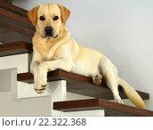 Собака породы Лабрадор лежит на деревянных ступенях. Стоковое фото, фотограф Иванна Кошка / Фотобанк Лори