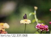 Бабочка сидит на цветке, собирает нектар. Стоковое фото, фотограф Павкина Зоя / Фотобанк Лори