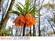Оранжевый императорский рябчик в парке Кёкенхоф (2015 год). Стоковое фото, фотограф Елена Ненова / Фотобанк Лори