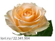Купить «Цветок чайной розы в каплях воды крупным планом на белом фоне изолировано», фото № 22341904, снято 25 марта 2016 г. (c) Наталья Волкова / Фотобанк Лори