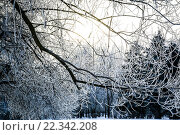 Зимние ветки. Стоковое фото, фотограф Артём Малыгин / Фотобанк Лори