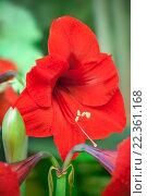 Купить «Красный амариллис (hippeastrum)», фото № 22361168, снято 15 марта 2016 г. (c) Татьяна Белова / Фотобанк Лори