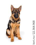Купить «Young Shepherd puppy», фото № 22364968, снято 21 марта 2016 г. (c) Типляшина Евгения / Фотобанк Лори