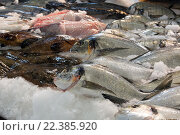 Купить «Raw fresh gilt-head bream fish», фото № 22385920, снято 19 октября 2018 г. (c) Яков Филимонов / Фотобанк Лори