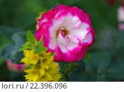 Купить «Розы Ностальжи в саду летним днем», фото № 22396096, снято 27 июня 2015 г. (c) Natalya Sidorova / Фотобанк Лори